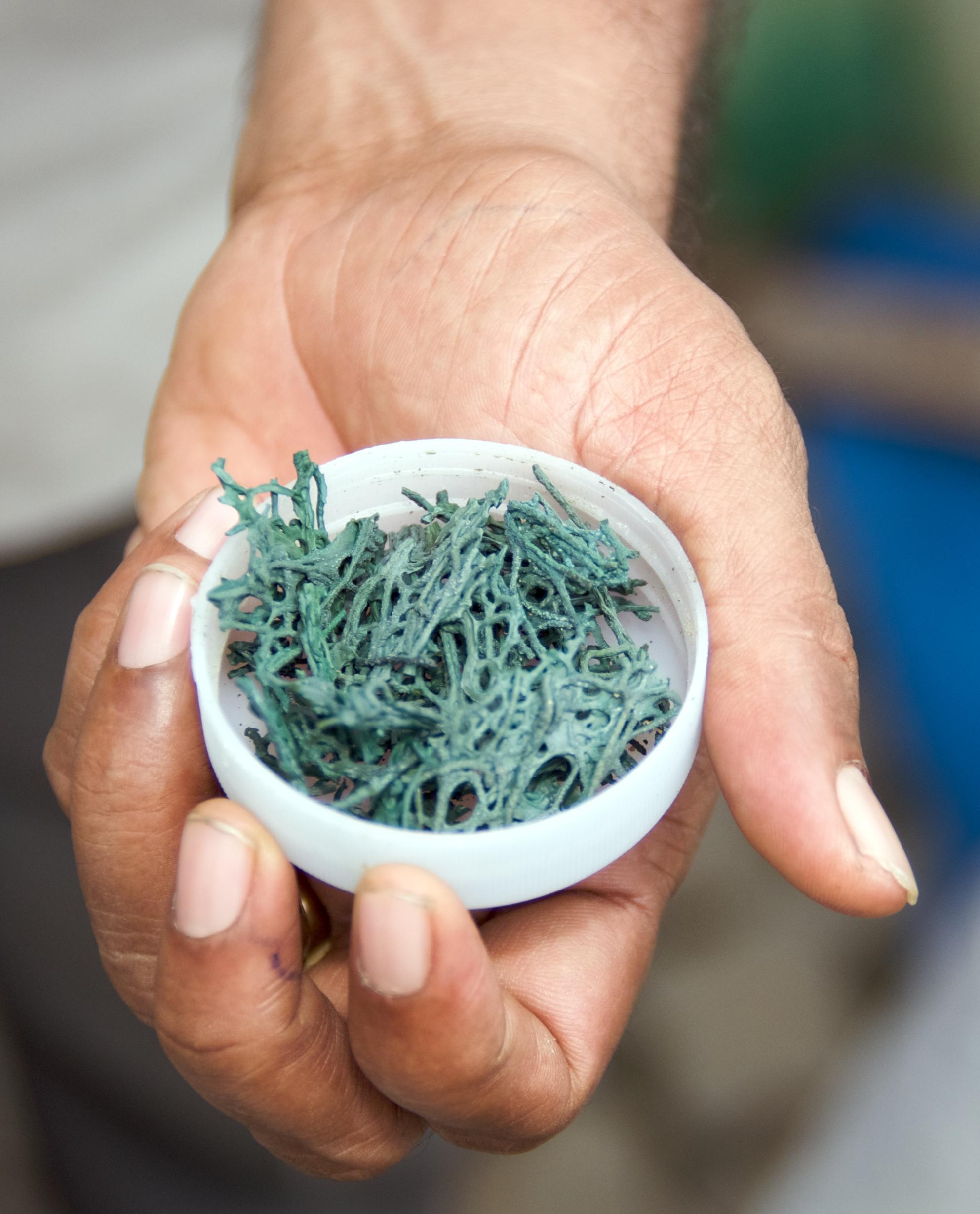 La spiruline, l'algue magique