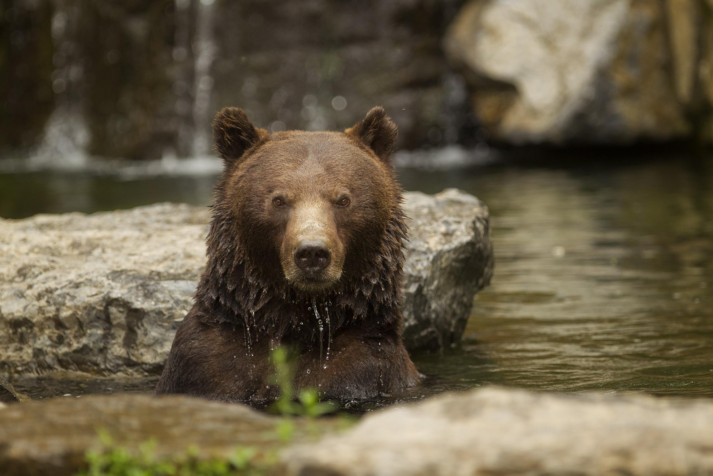 Quand l'ours divise  l'opinion publique française