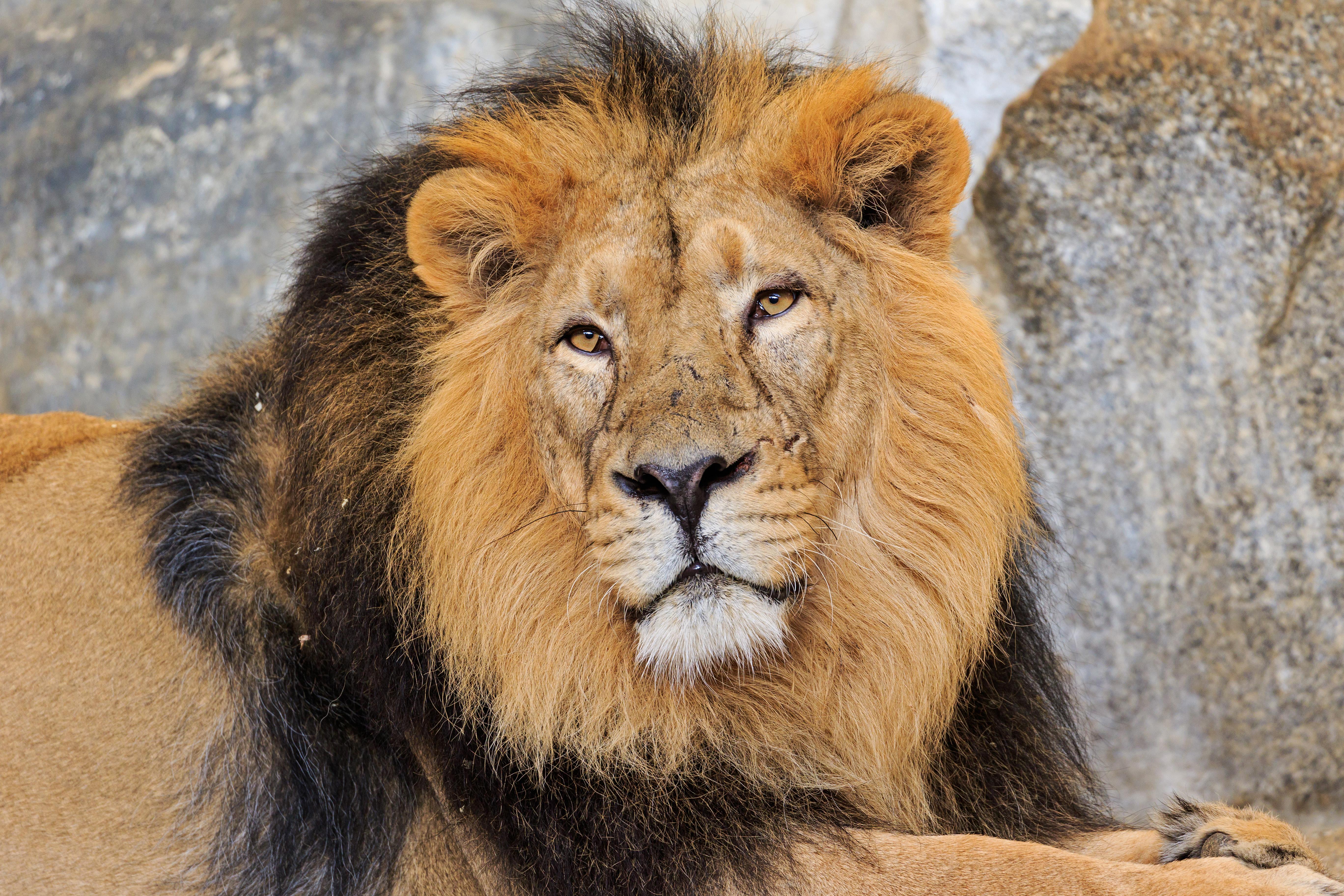 La  rencontre entre  le lion et l'homme