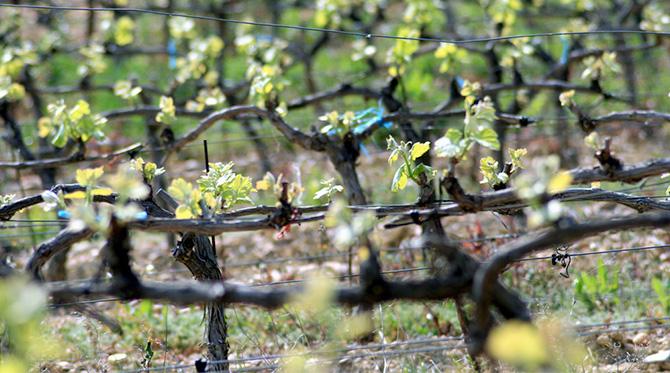 En Languedoc, les vins ont du caractère