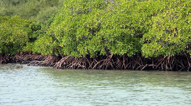 Les mangroves africaines en danger